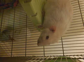 2 x Male Rats for rehoming