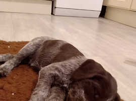 Stunning German wirehaired pointer pups
