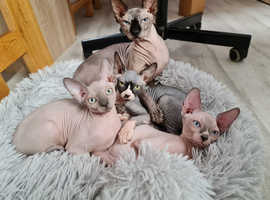 SPHYNX 2 Boys and 1 Girl Ready for new home