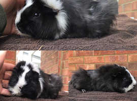 Two male guineapigs