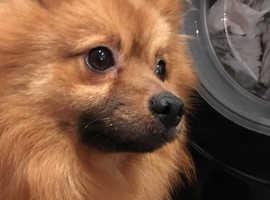 Gorgeous  Pomeranian Boy