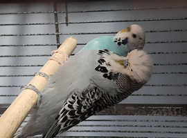 Adult budgies for sale as pairs.