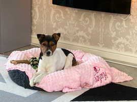 Parsons Jack Russell ( female ) 7 months