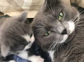 Beautiful blue kittens