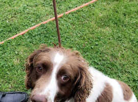 Male springer spaniel 3 year old