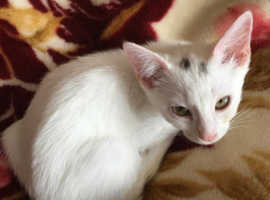 Beautiful bengal x siamese kittens