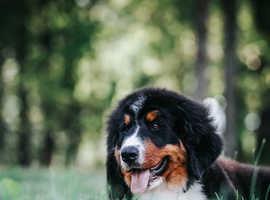 Bernese Mountain puppy female for sale