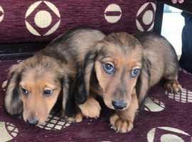 Dachshund puppy's