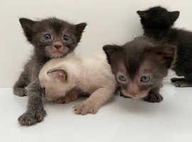 Lykoi kitten girls and boys