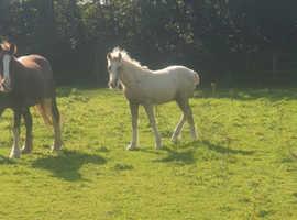 Welsh part bred colt