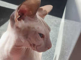 2 Donskoy Sphynx Cats (Black Male & White/Grey Female)