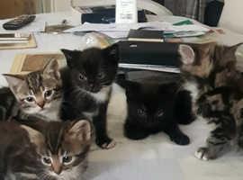 Beautiful loving playful black kittens £325 each
