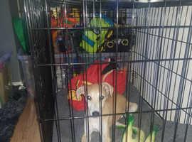 Saluki X Greyhound X Whippet X Collie.. 10 Weeks Old