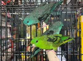 Linnets For Sale Lineolated parakeet Free insurance!