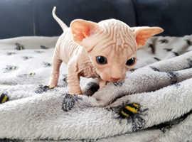 lovely kittens  sphinx