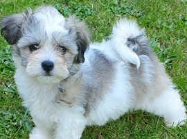 Stunning La Chon pups (Bichon x Lhasa)