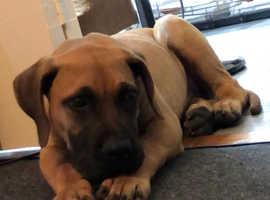 Presa Canario puppy import