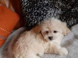 bishon frise X Pekingese pups