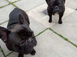 For stud frenchbull dogs
