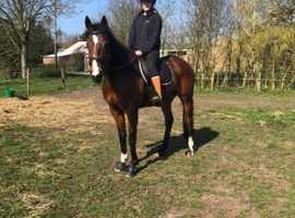 Helper wanted for my 16.2hh horse Bradford