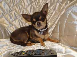 Micro Tiny KC Registered Smooth Coat Blue & Tan Chihuahua Adult Girl