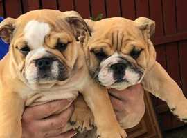 KC/British Bulldog puppies males/female