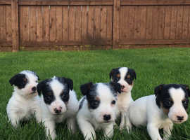 Jack Russell pups / puppies
