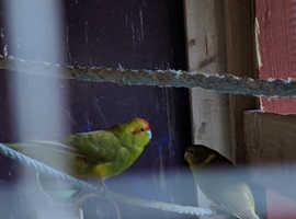 3 kakariki parakeets and large cage