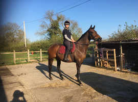 Lovely 16hh, 15 year old, mare