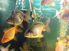 Fancy Goldfish Oranda Fry