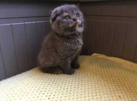 Scottish Fold Kittens are looking for a new home