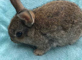 Netherland Dwarf Rabbits only one left