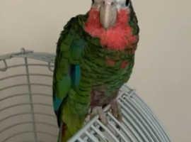 Stunning Cuban Amazon Parrot