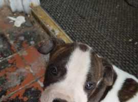 Staffordshire bull terrier x American bull dog