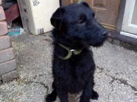 Lakeland terrier cross Patterdale girl