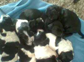 sproker puppies