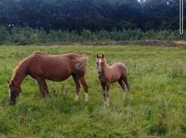 Quality Welsh B Colt Foal