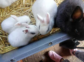Dwarf Hotot for sale
