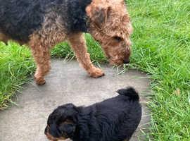 Welsh terrier girl