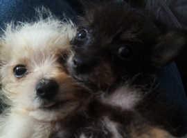 Bichawowa pups
