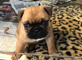 French bulldog crossed pug