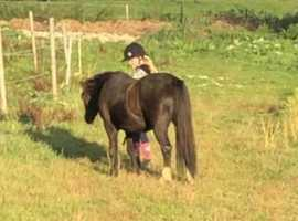 Dolly mixture 11.2hh 12yrs old
