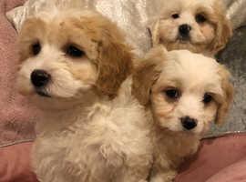 Maltipoo Puppies