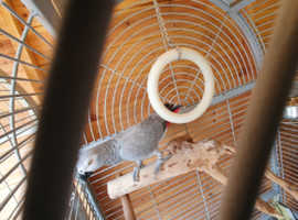 Tame and talking african grey