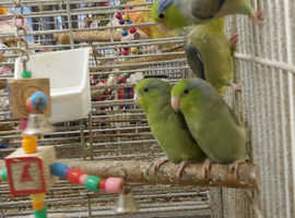 Hand reared baby parrotlets