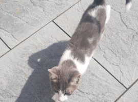 British short hair male kitten