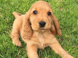 Golden Show Type Cocker Spaniel Puppy Wanted