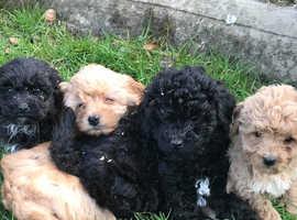 Toy Poodle x Bichon Puppies