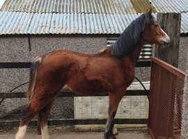 Beautiful section d yearling filly