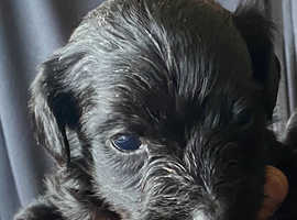 Cockapoo x Yorkie pups  (Corkiepoos)